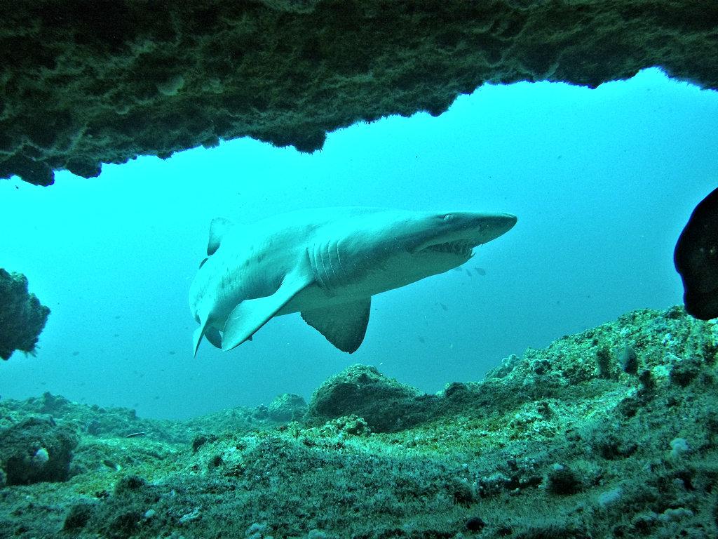 Aliwal Shoal - Ragged-tooth shark